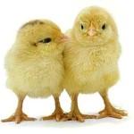 chicken veterinary care