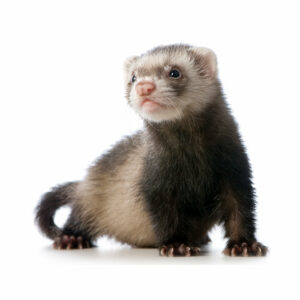 New Mexico Ferret