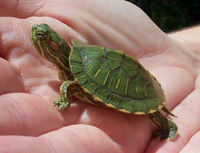albuquerque turtle