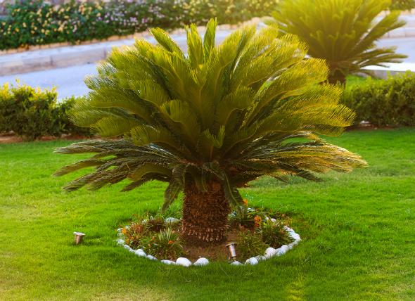 Sago Palm toxic to albuquerque pets