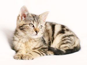 Cat for Low Cost Albuquerque Veterinary Spay Neuter
