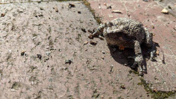 Greys Tree Frog