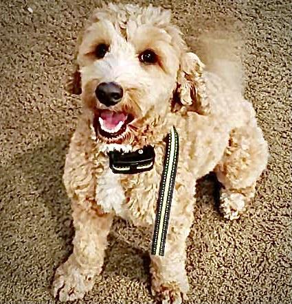 Australian Labradoodle Puppy for Sale