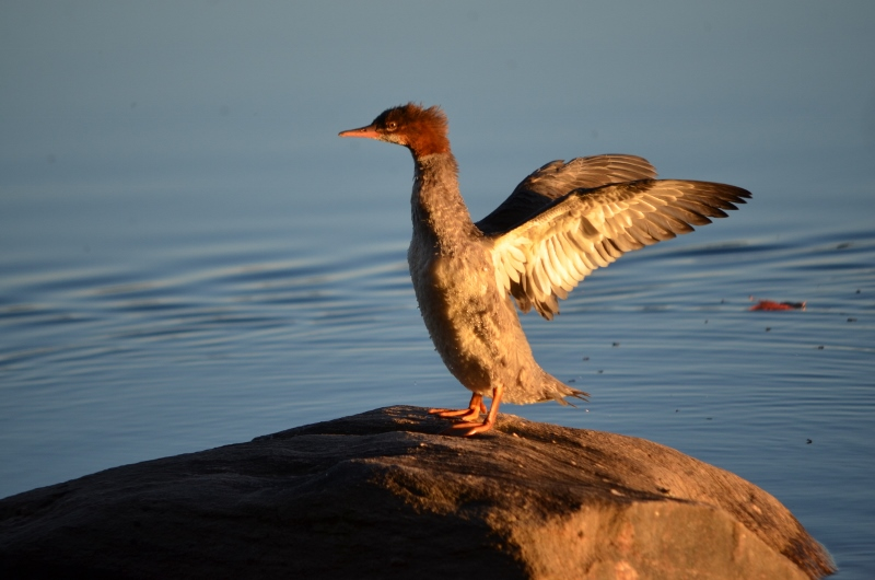 red breasted merganser having a stretch