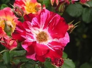 4th of July Climbing Rose