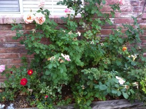 Fall Rose Garden with Rose Hips