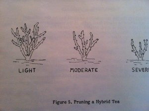 Pruning a Hybrid Tea Rose Bush