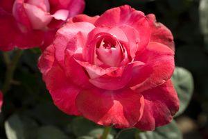 Girls' Night Out Hybrid Tea Rose