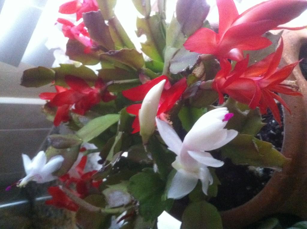 Christmas Cactus, Gaga's Garden Indoors