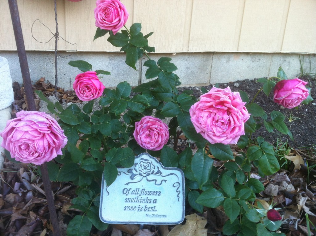 First Rose Planted in the New Rose Garden Fall 2011