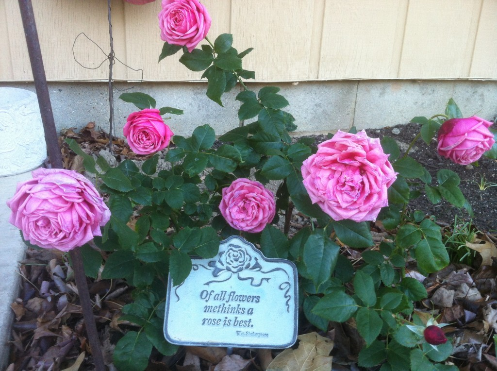 First rose planted in new floribunda bed