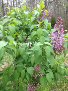 Lilac Blooming in Gaga's Garden