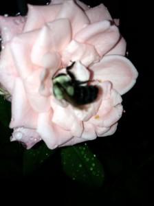 Kimberlina with Raindrops & Bees