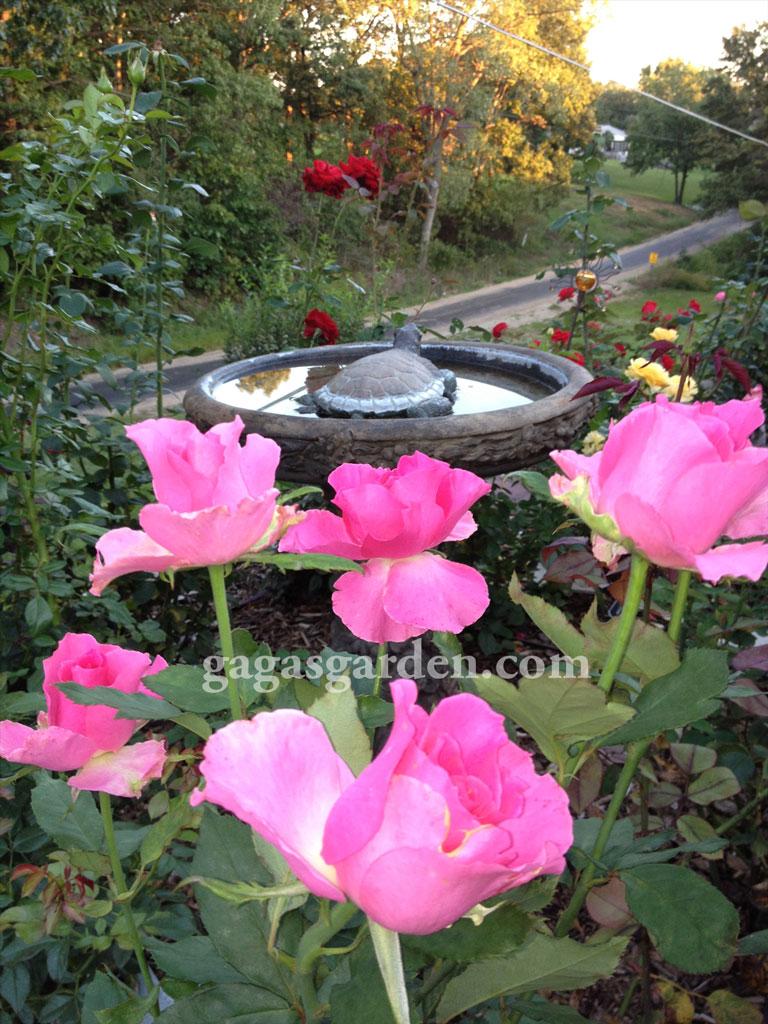 Fall Rose Garden