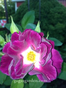 Night Owl, Large Flowered Climber in the Fall Garden