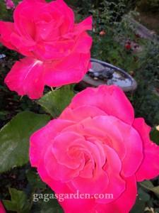 Redemption, hybrid tea in the fall Rose Garden