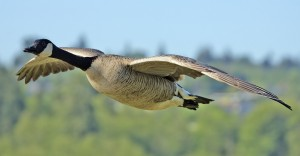 Canadian Honker in Flight