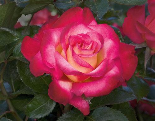 Dick Clark, photo Weeks Roses
