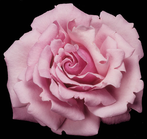 Memorial Day, photo Weeks Roses