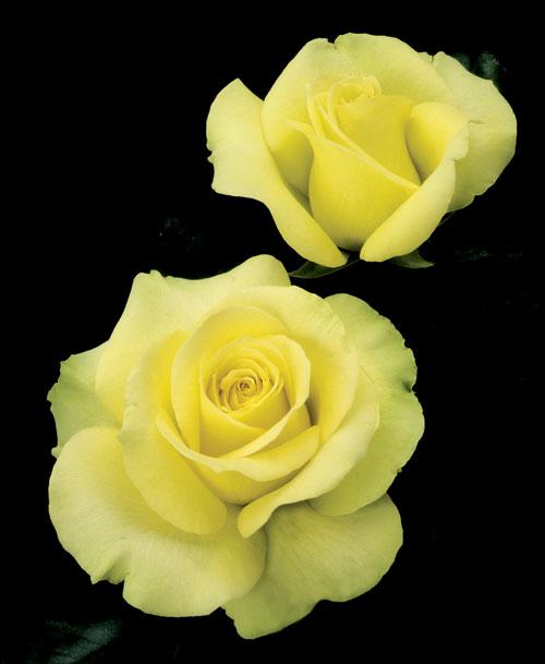 St. Patrick, photo Weeks Roses
