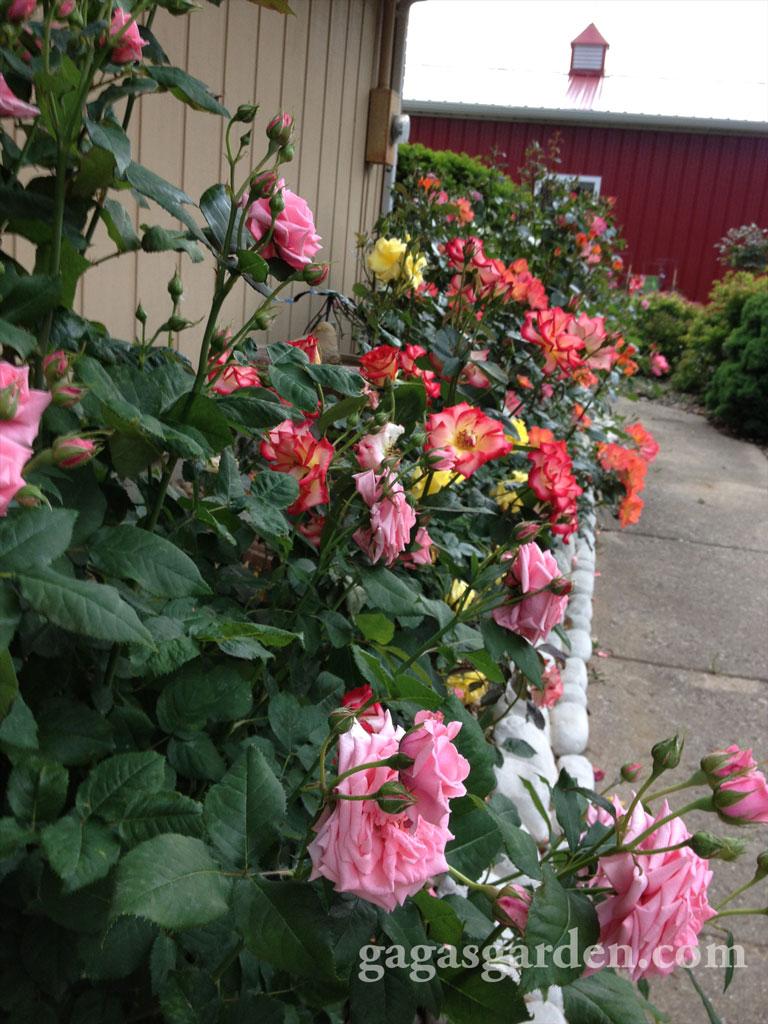 Floribunda Rose Garden in Bloom