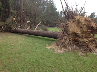 Tree Uprooted by Tornado at Garden of The American Rose Center, May 16, 2013