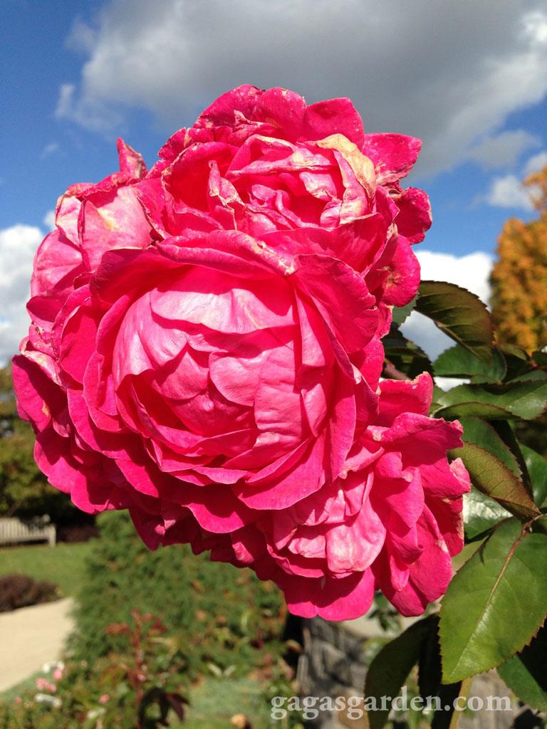 Rosa 'Radyod' Blushing Knock-Out Shrub Rose