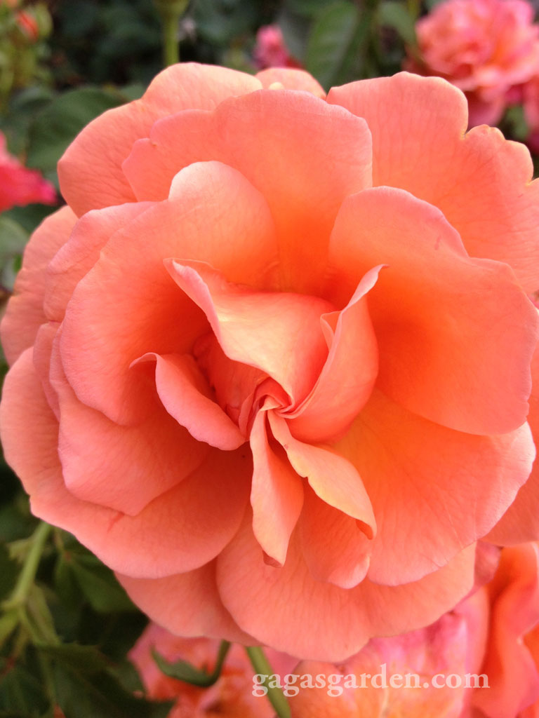 Easy Does it, a floribunda that is prolific in bloom cycles, disease resistant and holds its color. The perfect rose for your garden