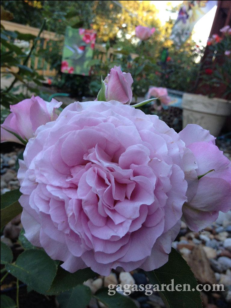 Love Song a floribunda