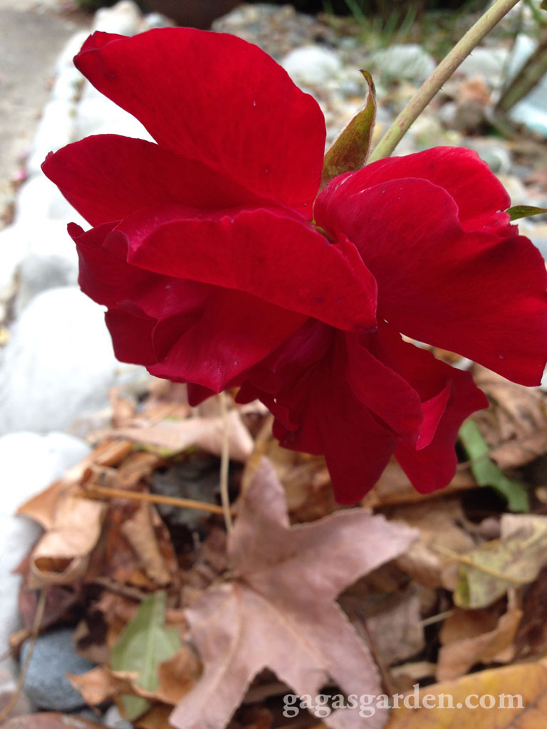 'Weeping' Rose and Leaves