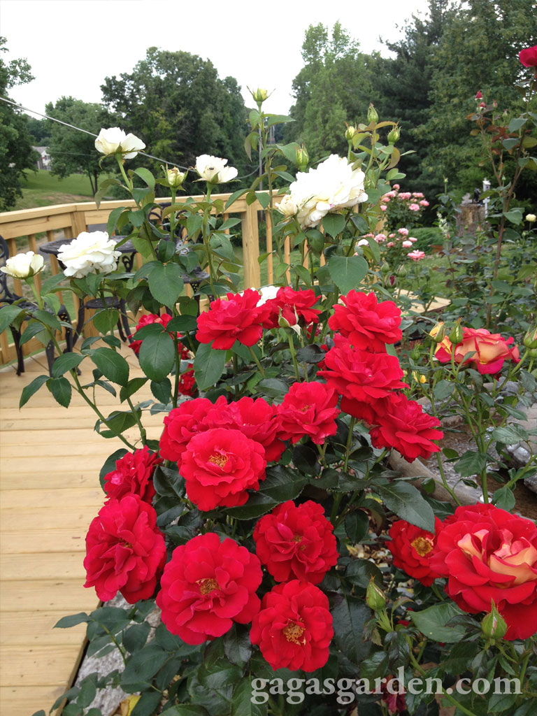 Rose Garden in the Summer