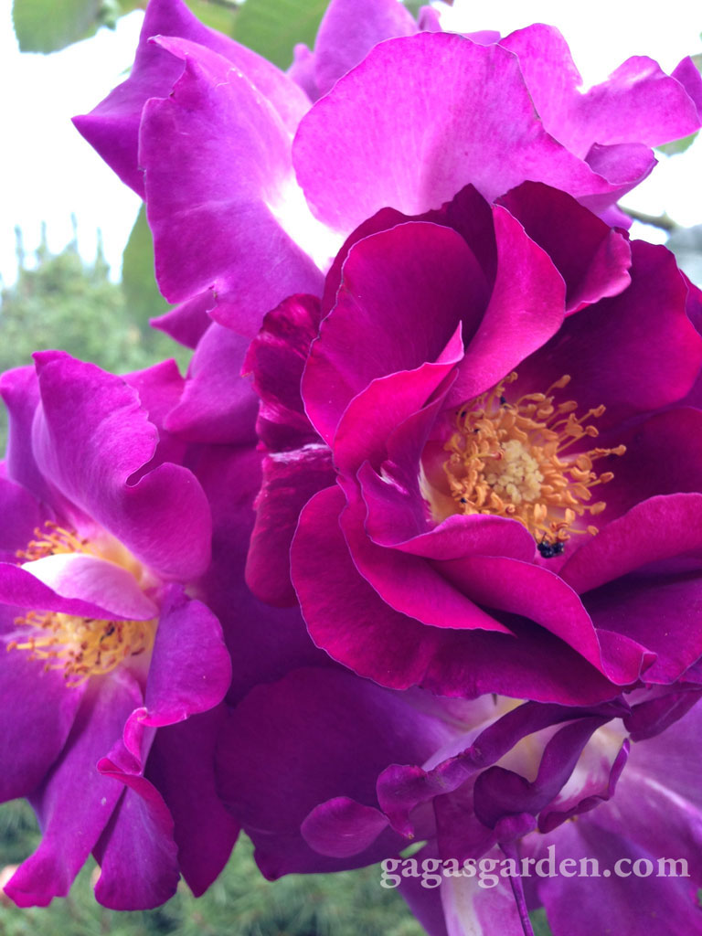 Stormy Weather, Large Flowered Climber