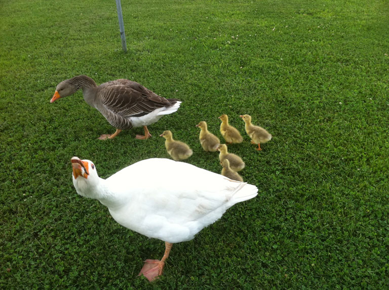 Gander | Goose | Spring Goslings