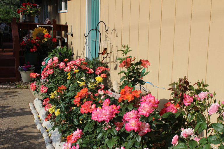 June Spring Bloom | The Floribunda Rose Garden in Full Bloom