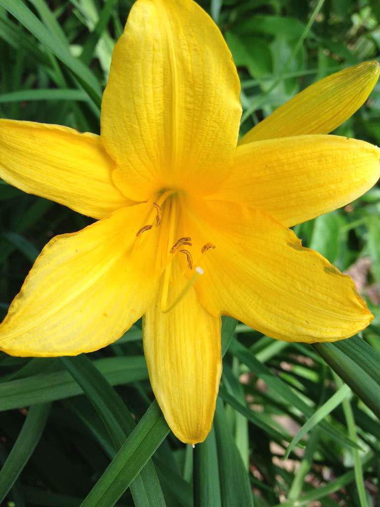 Day Lily Blooming
