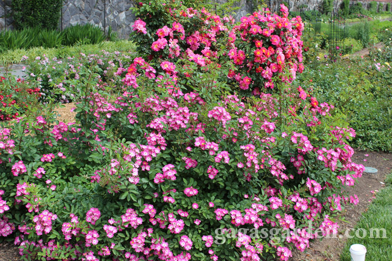 'Pookah' Polyantha and 'Bejazzo' Climber Winners of Biltmore Rose Trials