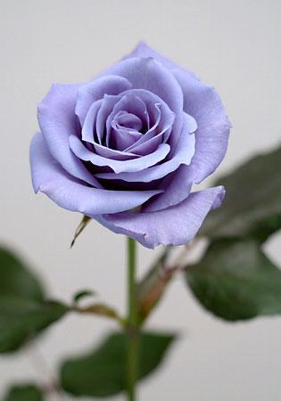 Applause | A True Blue Rose