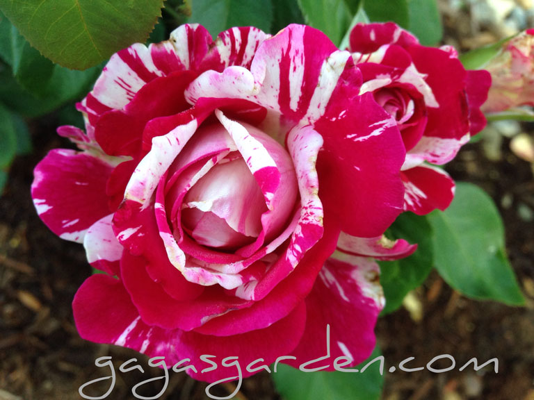 Neil Diamond, new from Weeks Roses 2015 Cataolog