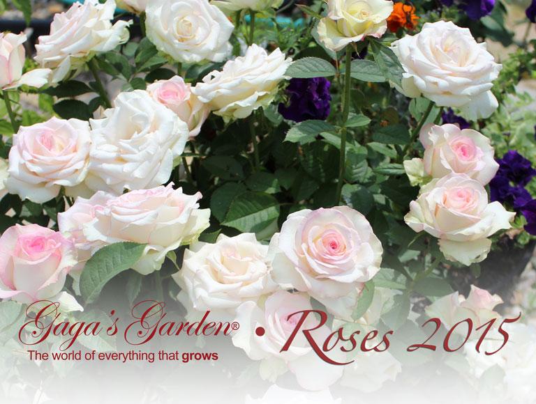 Gaga's Garden Roses 2015 Calendar Cover 'Moonstone'