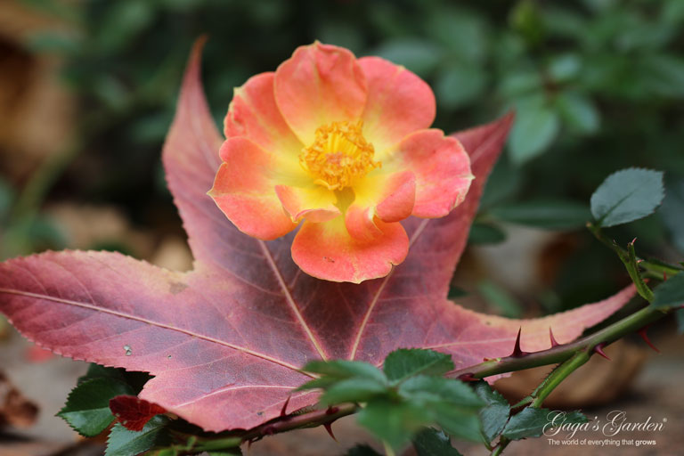 Oso Easy 'Paprika' by Proven Winners captured in a late fall bloom.