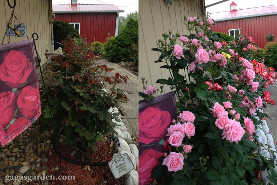 Gaga's Garden Floribunda Rose Garden in Illinois