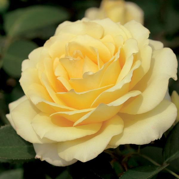 'Summer Love' Hybrid Tea by Tom Carruth