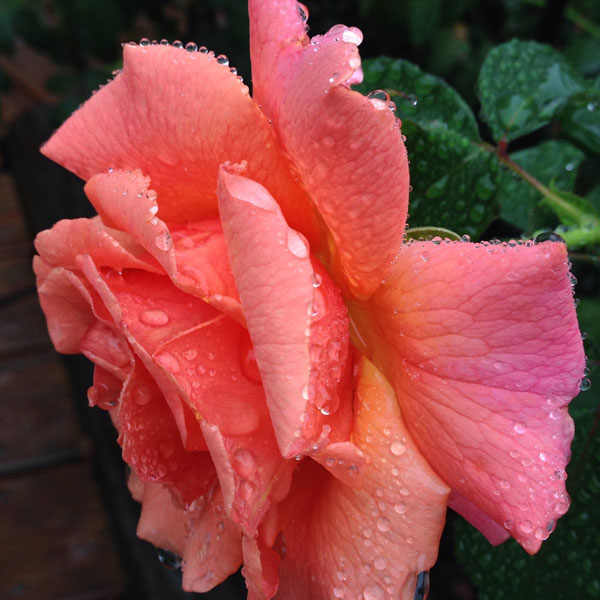 'Easy Does It' by Weeks Roses with Rain Drops, a vision of perfection
