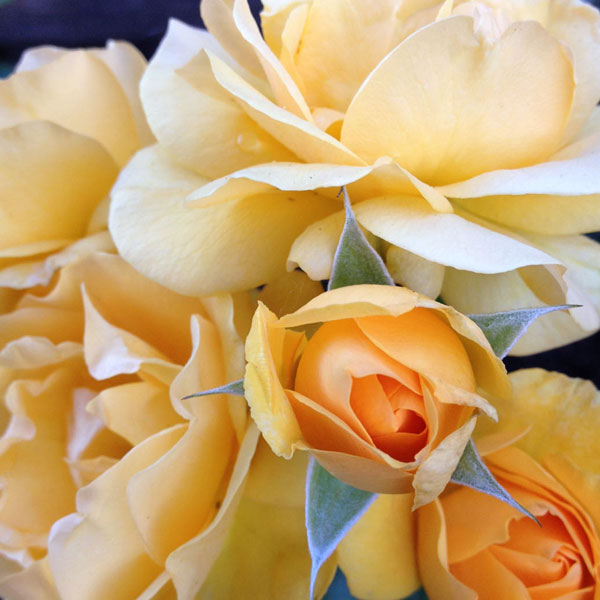 'Julia Child' by Weeks Roses featured this shot of 'Julia Child' in The American Rose Society 2014 Calendar