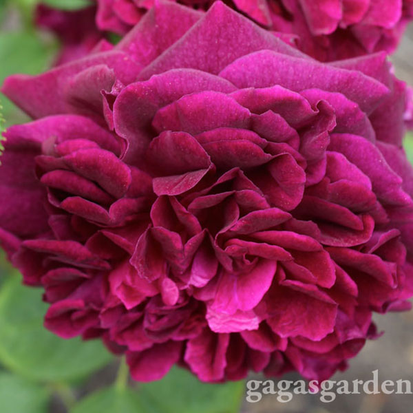 'Munstead Wood' David Austin Rose voted a Biltmore Rose Trial Most Fragrant Rose of the 2014 #BiltmoreRoseTrials