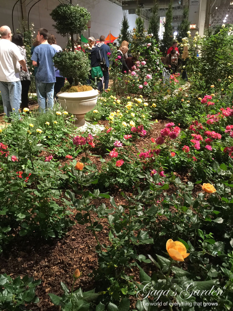 The Chicago Flower & Garden Show Rose Garden in Bloom In March   Apricot Candy   Cinco de Mayo