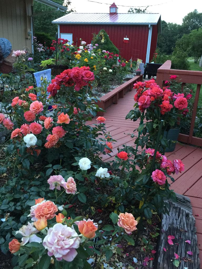 The Rose Garden in Bloom
