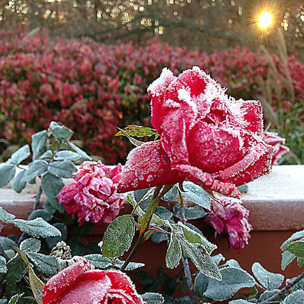 Double Knock Out® Roses With Ice Crystals at Sunrise in The Garden