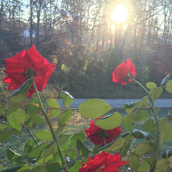 'Crimson Bouquet' at Sunrise in November