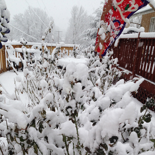 Let It Snow | Snow Provides Isolation for Roses